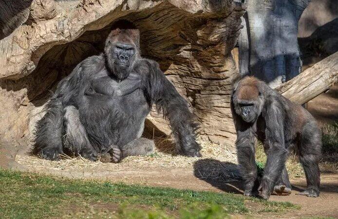 Deux gorilles d'un zoo américain testés positifs au coronavirus