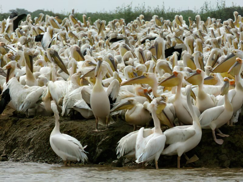 La grippe aviaire à l'origine de la mort de 750 pélicans blancs à Djoudj (Officiel)
