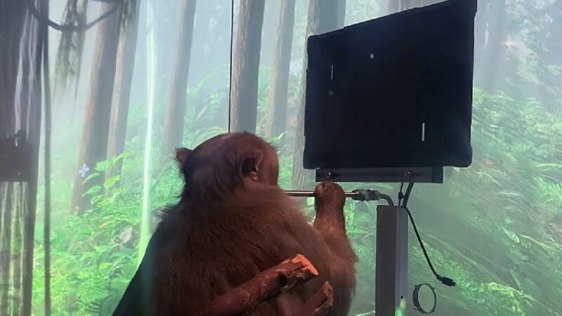 Ce singe peut jouer à Pong par la pensée grâce à la puce Neuralink d'Elon Musk