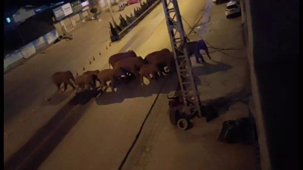 Un troupeau d'éléphants errants dans le sud-ouest de la Chine