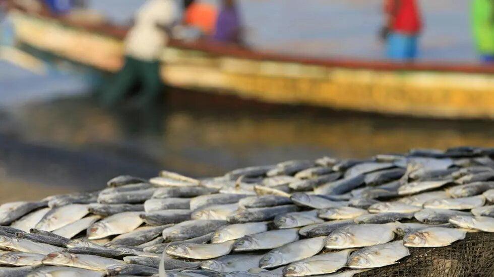 Afrique de l'Ouest: un rapport alerte sur les «conséquences dévastatrices» du commerce de la farine et de l'huile de poisson